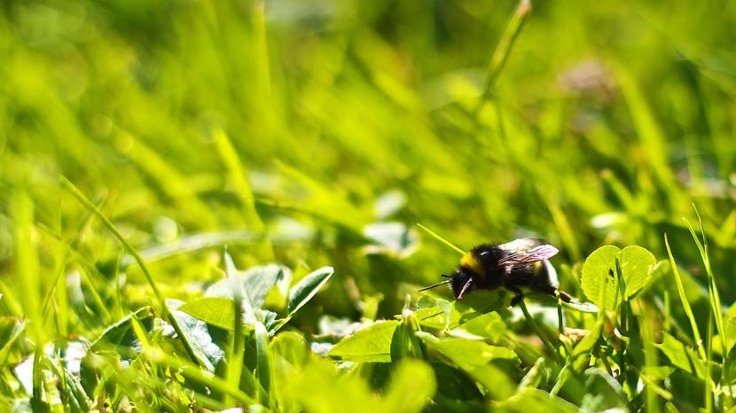 En humla i gräset denna idylliska sommardag.